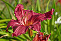 Hemerocallis 'Summer Wine'-IMG 8521.jpg