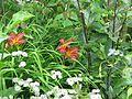 Hemerocallis Stafford - Flickr - peganum.jpg