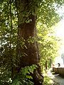 Herchen (alter Bergahorn).jpg