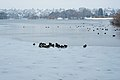 Herd of cold waterfowl on frozen Green Lake 2008.jpg