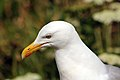 Herring Gull (7551168336).jpg