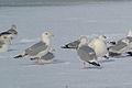 """Herring Gull (Larus argentatus) """"Dark-eye Variant"""" (16487466558).jpg"""
