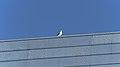 Herring Gull (Larus argentatus) - Oslo, Norway 2020-08-12 (01).jpg