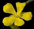 Hibbertia subvaginata - Flickr - Kevin Thiele.jpg