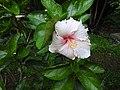 Hibiscus rosa sinensis hybrid-13-hanuman temple-muluvi-yercaud-salem-India.jpg