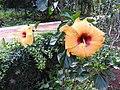 Hibiscus rosa sinensis hybrid-27-hanuman temple-muluvi-yercaud-salem-India.jpg