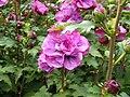 Hibiscus syriacus1.JPG
