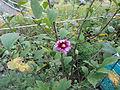 Hibiscus syriacus2.JPG