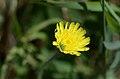 Hieracium pilosella (8417562589).jpg