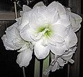 Hippeastrum sp. (amaryllis) 5 (31867535134).jpg