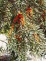 Hippophae rhamnoides2 beentree bialowieza.jpg