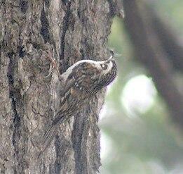 Hodgson's Treecreeper I IMG 3315