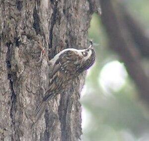Eurasian treecreeper - Hodgson's treecreeper, probably C. h. mandelli, formerly considered to be a subspecies of Eurasian treecreeper