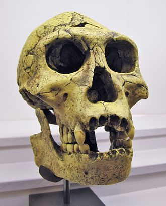 Homo erectus - Dmanisi skull 3 (fossils skull D2700 and jaw D2735, two of several found in Dmanisi in the Georgian Transcaucasus)