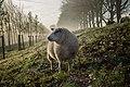 Hoofddorp sheep (Unsplash).jpg