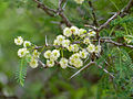Horned Thorn (Acacia grandicornuta) (11452435585).jpg