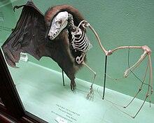 نیمی از استخوان بندی بدن خفاش میوهخوار.
