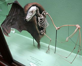 Bat - A preserved megabat showing how the skeleton fits inside its skin