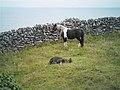 Horses at Inisheer - panoramio.jpg