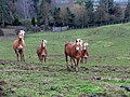 Horses by The Hill - geograph.org.uk - 310872.jpg