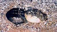 Horseshoe crab pair.jpg