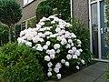 Hortensia in bloei 2 - panoramio.jpg