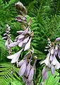 Hosta fortunei Picta inflorescence.jpg