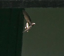 House Swift I IMG 3285f.jpg