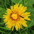 Hoverfly (Sphaerophoria??) on a dandelion, Sandy, Bedfordshire (14062558582).jpg