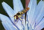 Hoverfly July 2011-2.jpg