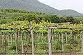 Hua Hin Hill Vineyard - panoramio (1).jpg