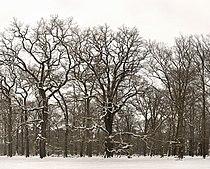 Hutewald im Winter im Wisentgehege Springe.jpg