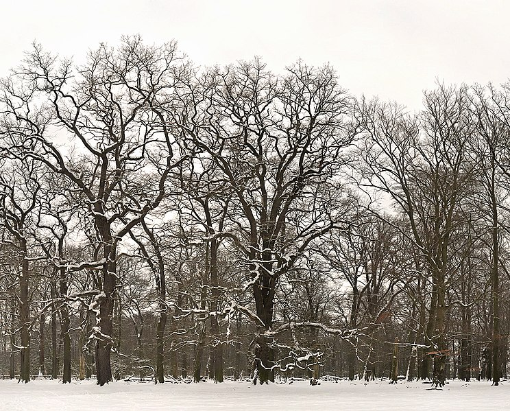 File:Hutewald im Winter im Wisentgehege Springe.jpg