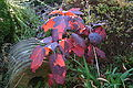 Hydrangea quercifolia fall color 2.JPG