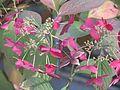 Hydrangea serrata var - Flickr - peganum.jpg
