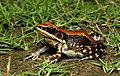 Hydrophylax bahuvistara- widespread fungoid frog.jpg