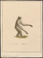 Hylobates leuciscus - 1700-1880 - Print - Iconographia Zoologica - Special Collections University of Amsterdam - UBA01 IZ19800115.tif