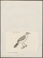 Hylophilus thoracicus - 1700-1880 - Print - Iconographia Zoologica - Special Collections University of Amsterdam - UBA01 IZ16600277.tif