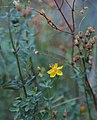 Hypericum formosum western St-Johns wort.jpg