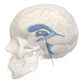 Hypothalamic sulcus - 3rd ventricle - 04.png