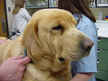 Photograph of a Labrador Retriever dog with sagging facial skin characteristic of hypothyroidism