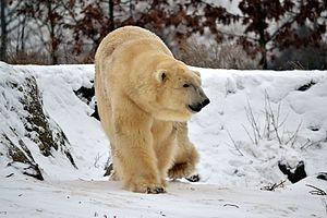 dit is een ijsbeer
