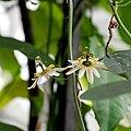 IMG 1135-Passiflora biflora.jpg