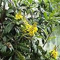 IMG 7188-Acridocarpus natalitius.JPG