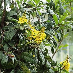 Acridocarpus - A. natalitius