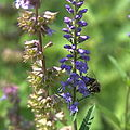 IMG 9987-Veronica officinalis.jpg