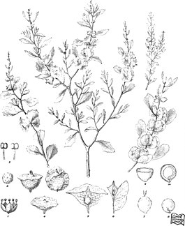 Iconography of Australian salsolaceous plants (1889) (20558121128).jpg