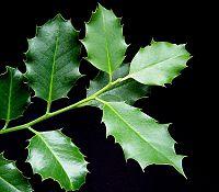 Ilex aquifolium 15 ies.jpg