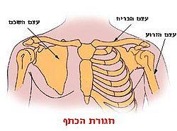 Illu pectoral girdles-he.jpg