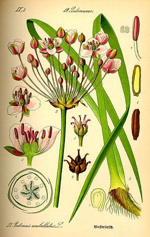 Butomus umbellatus - Image: Illustration Butomus umbellatus 0